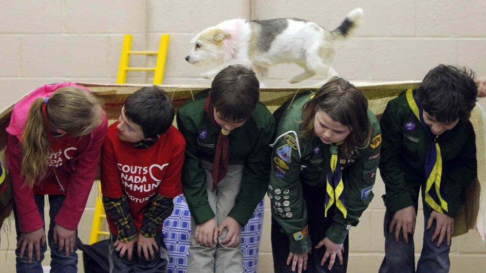 Twisty the rescue dog walks over the backs of some Scouts attending a dog show put on by Hull's Haven Border Collie Rescue at Transcona Scout Hall. April 28, 2016 -