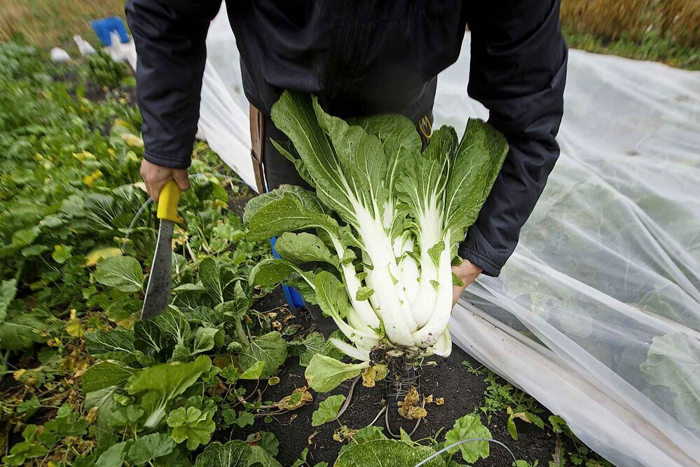 Bok choy will be added to the orders.