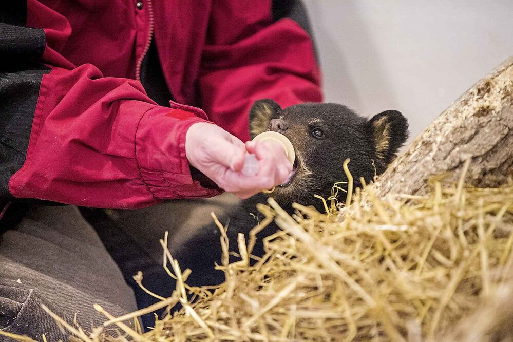 The cub at first is fed with syringes and a special nipple. (Mikaela MacKenzie / Winnipeg Free Press)
