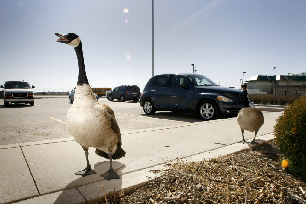 Geese and their goslings create a hazard for motorists as they wander among traffic.