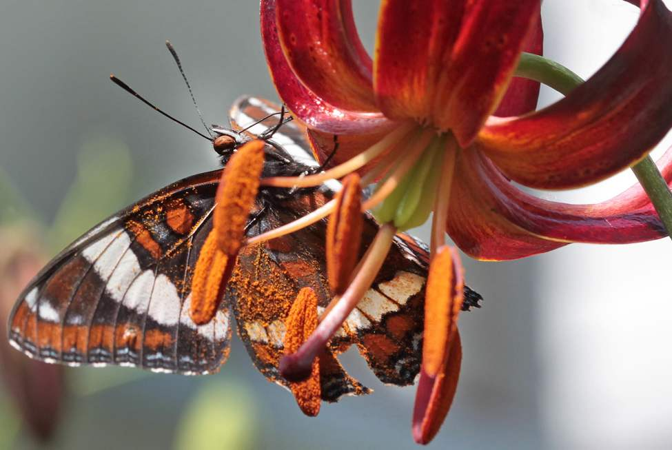A butterfly looks for nector on a lily on a sunny afternoon in Wolseley. June 22 2010 (JOE BRYKSA / WINNIPEG FREE PRESS)