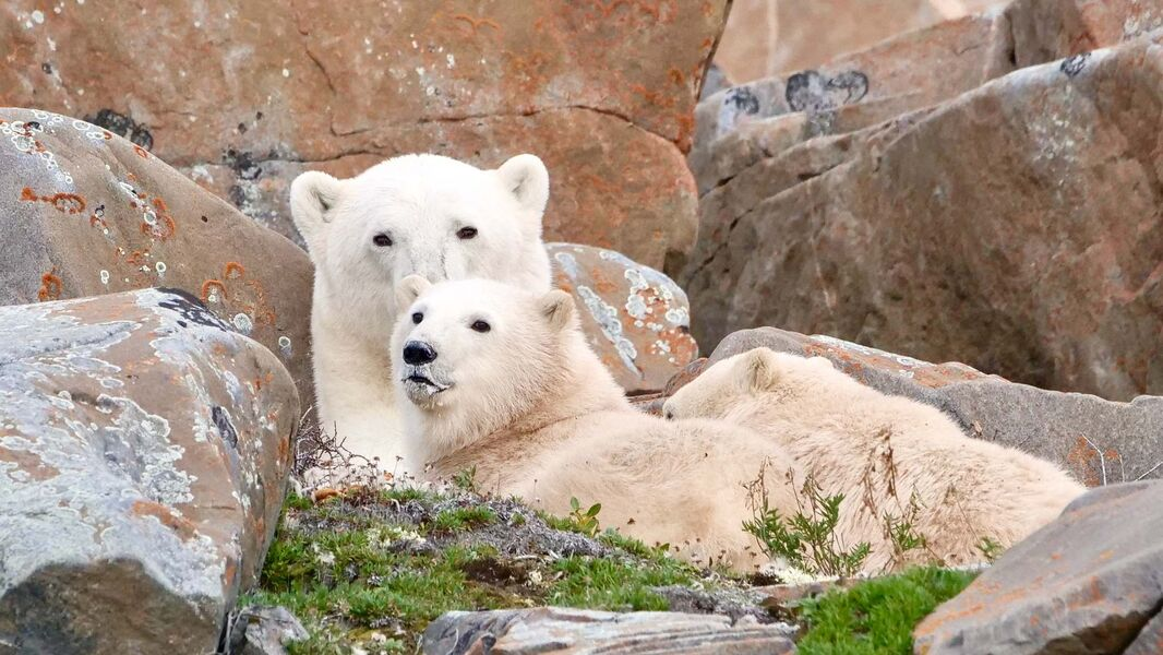 Climate change a clear and present danger to the already-shrinking polar bear population