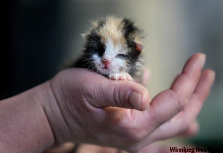 A five-day-old Calico kitten was at Best West Pet Foods on St. James Street earlier today at an animal-rescue adoption fair. The kitten is in a foster home until it is old enough to find a permanent home.   (Ruth Bonneville / WInnipeg Free Press)