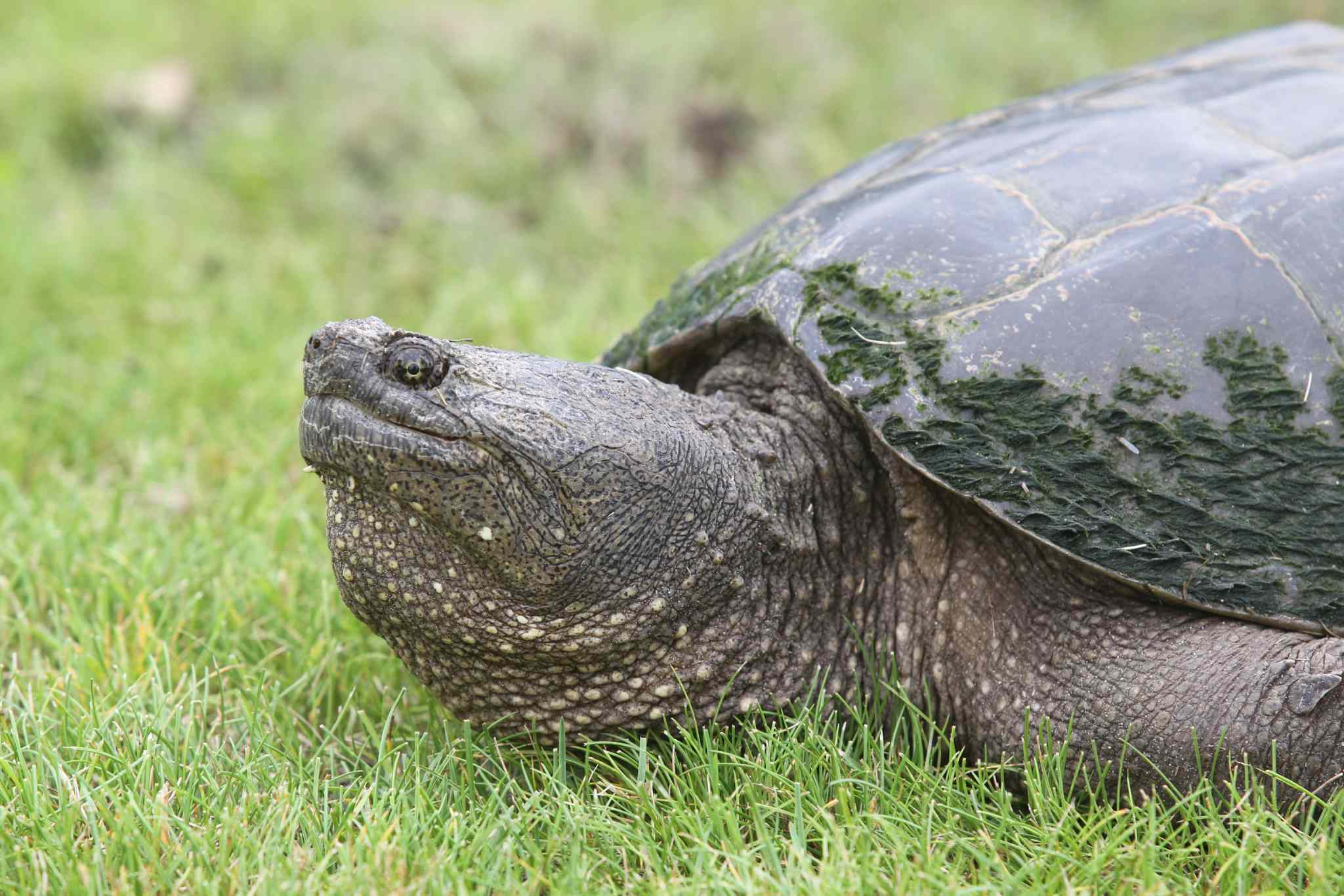 10. (i) all members of the family Chelydridae, including snapping turtle and alligator snapping turtle.