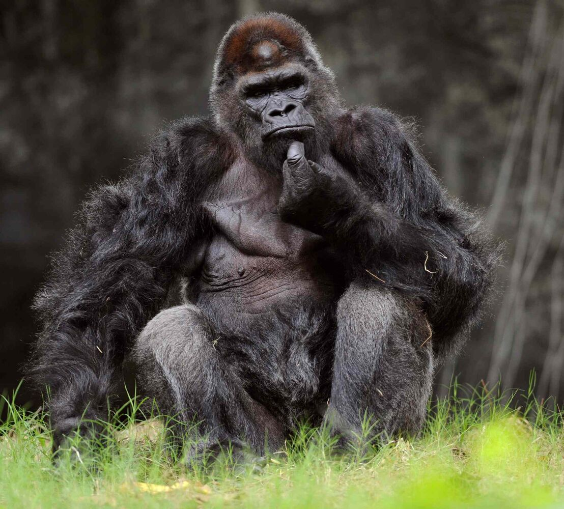 8. All non-human primates, including, but not limited to, monkey, ape, chimpanzee, gorilla (pictured) and lemur.  (Bita Honarvar / MCT)
