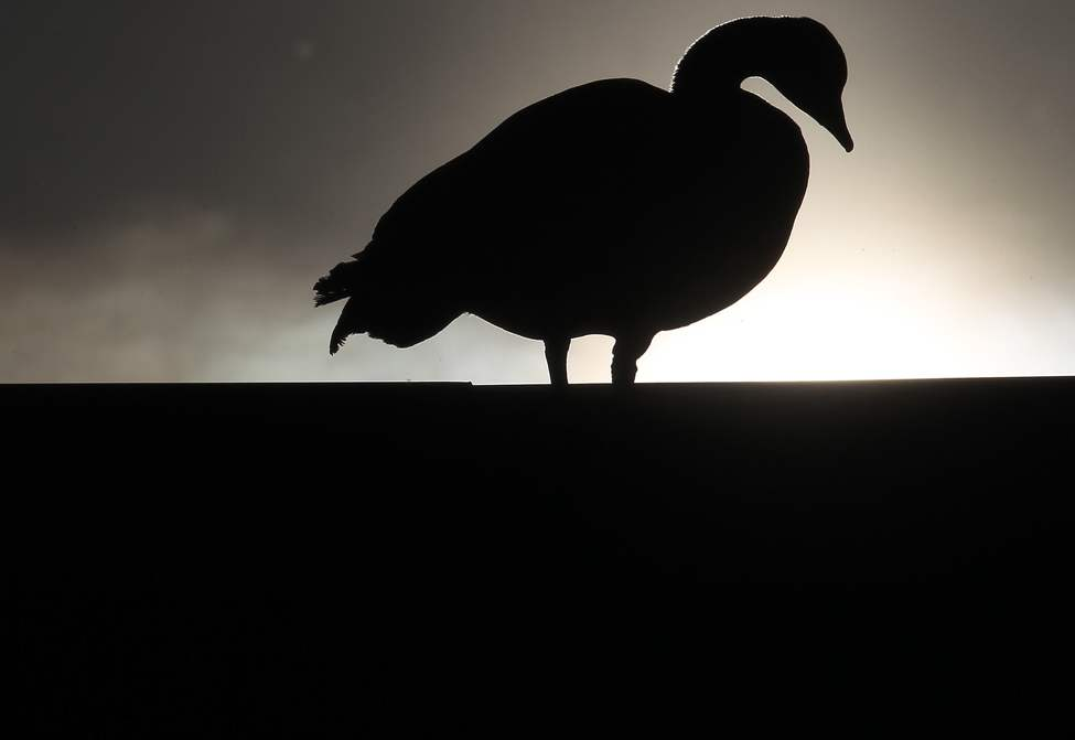 DAY SEVEN - A nesting goose sits on the roof of GoodLife Fitness at 143 Nature Way near Kenaston Boulevard as the morning sun comes up Wednesday morning. (Joe Bryksa / Winnipeg Free Press)
