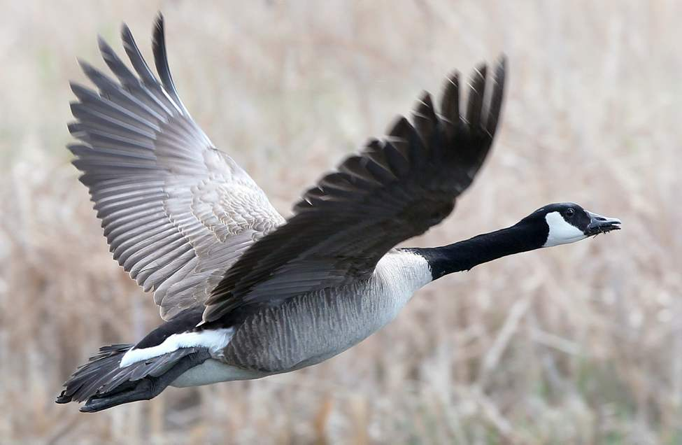 DAY NINE - A Canada goose takes flight on Wilkes Ave Friday afternoon, May 11, 2012. (JOE BRYKSA / WINNIPEG FREE PRESS)