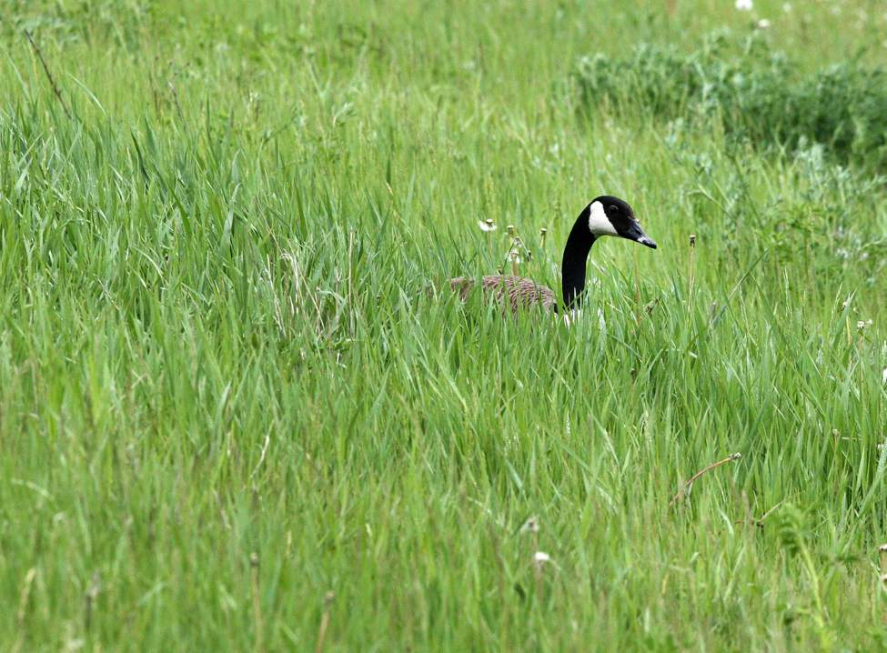 DAY EIGHTEEN - A Canadian goose sits in high grass for cover near Marion Street Friday afternoon. May 25, 2012   (JOE BRYKSA / WINNIPEG FREE PRESS)