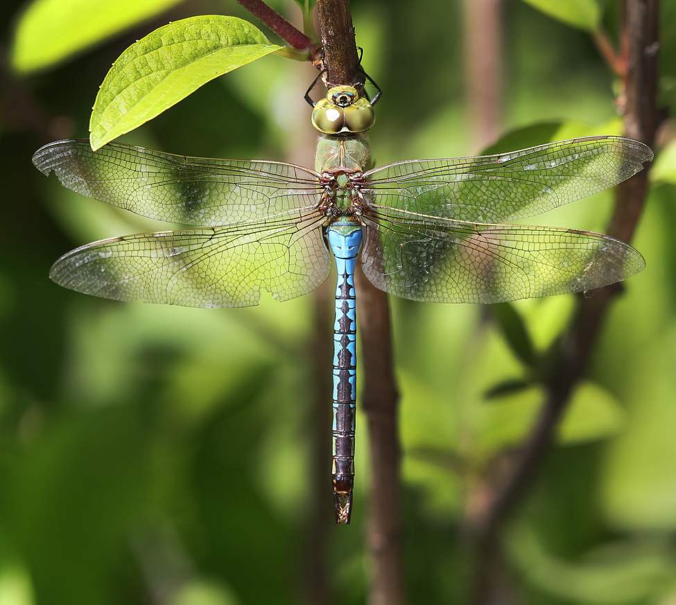 Winnipeg's best friend, the dragonfly takes a break at The English Gardens in Assiniboine Park Wednesday. A dragonfly can eat  food equal to its own weight in 30 minutes.