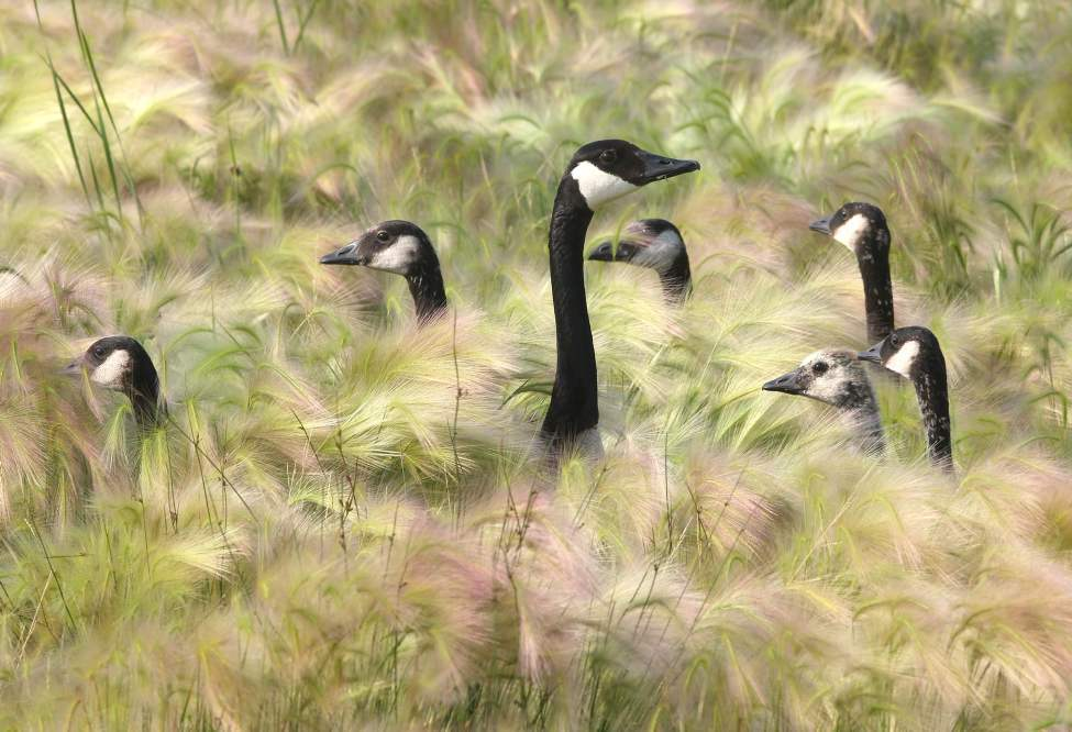 DAY TWENTY-EIGHT - Geese take cover in long grass in the Tuxedo Business Park near Route 90 Wednesday, June 27, 2012.   (JOE BRYKSA / WINNIPEG FREE PRESS)