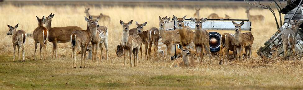 A herd of young deer pose for a photo in Morris, Manitoba. April 30, 2013  BORIS MINKEVICH / WINNIPEG FREE PRESS (Boris Minkevich)