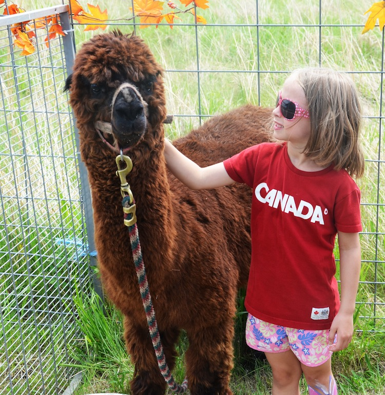 An alpaca gets some attention at the Canada Day celebrations at the Riverbank Discovery Centre in Brandon.