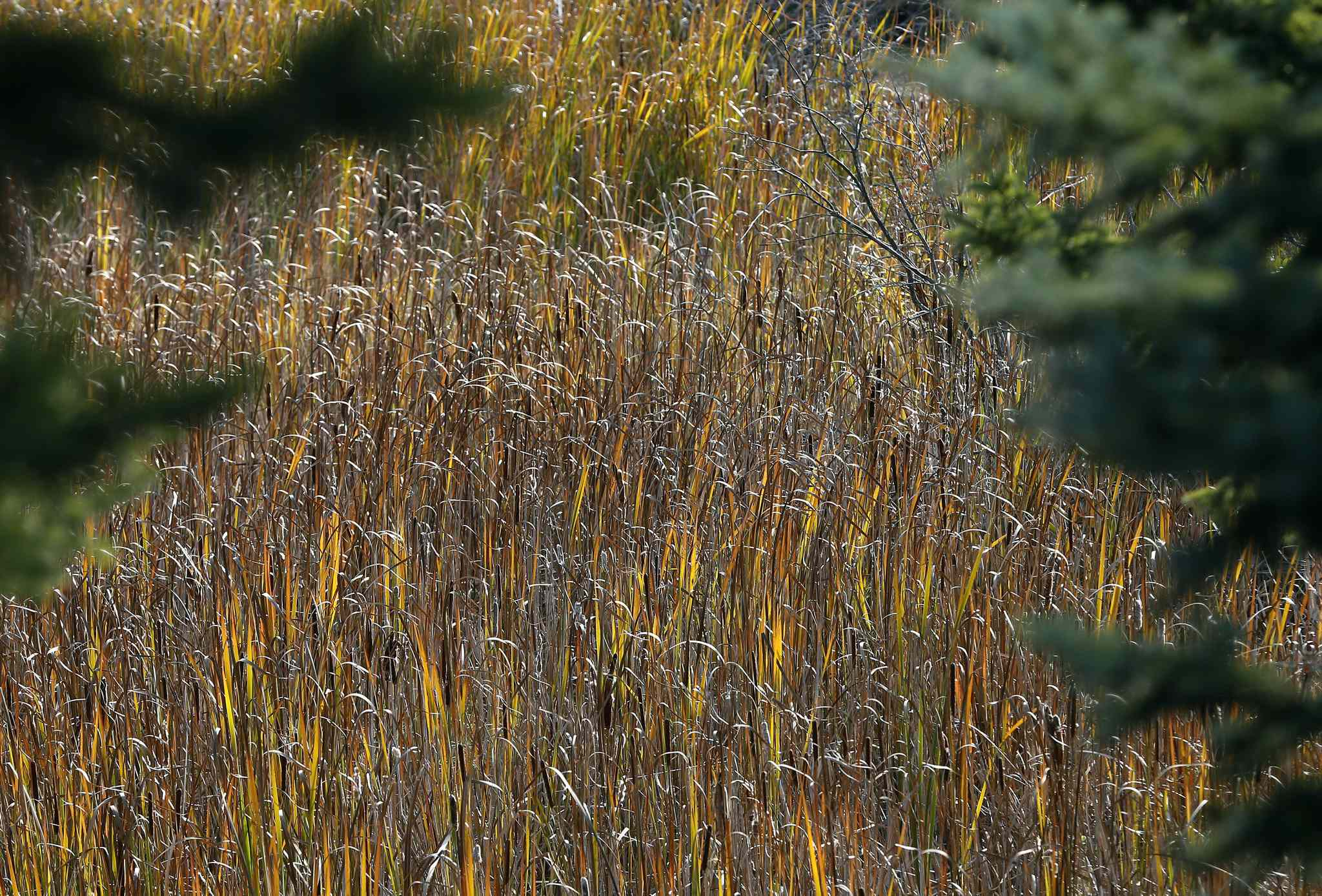 Reeds and tall grass turn autumn colours into abstract art.