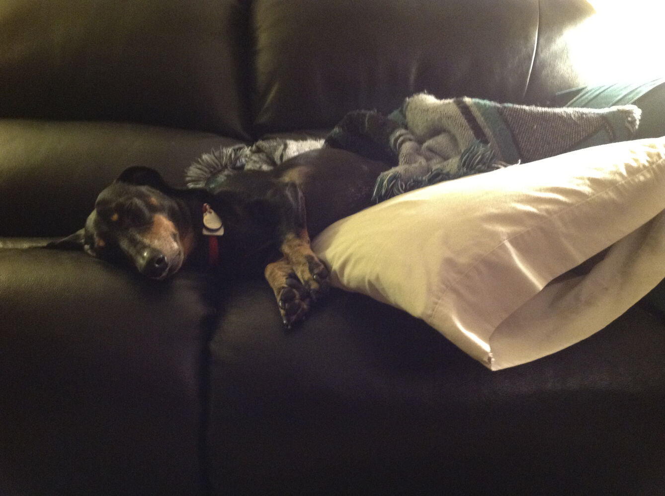 Mickey, a mini dachshund who weighs 16 lbs. and is trying to lose a few, is a devoted couch potato, owner Brenda Winch says. Pet Valu's Fit Pet Project (Submitted photo)