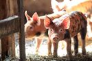 No signs pig virus has spread