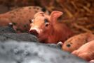 Deadly pig virus confirmed in Manitoba