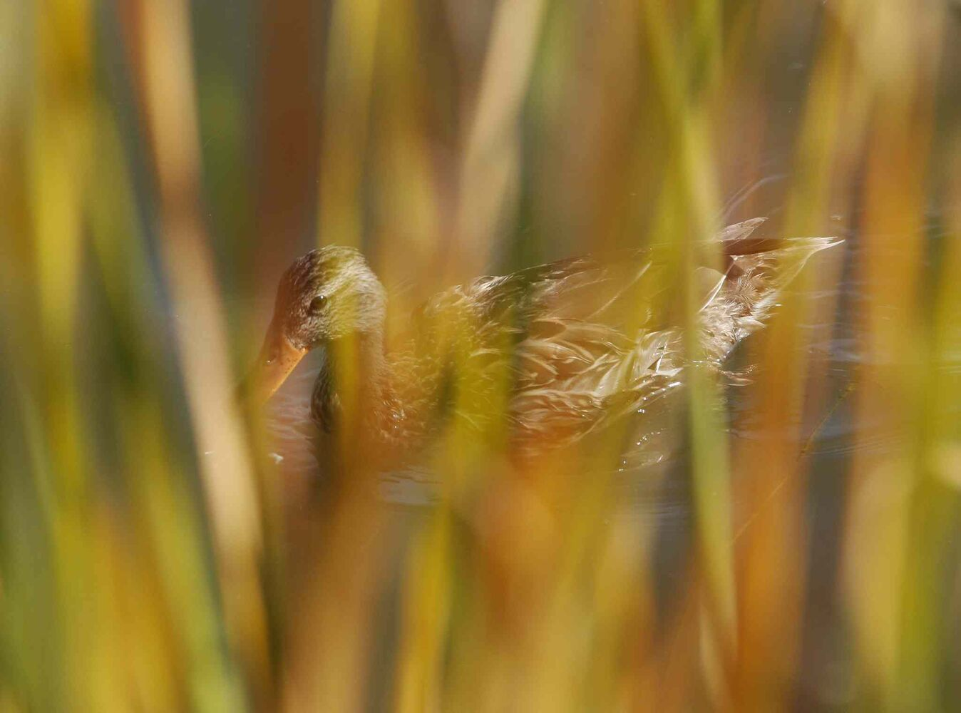 A mallard duck floats in a pond beyond the reeds and tall grass. (KEN GIGLIOTTI / WINNIPEG FREE PRESS)