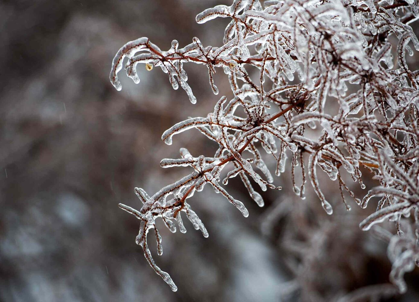 Ice is seen on tree branches in Toronto Sunday. (Nathan Denette / The Canadian Press)