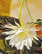 The Queen of the Night plant blooms only once every 12 to 18 months and each bud blooms only once, only for a few hours.