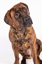 This 2013 photo provided by the American Kennel Club shows a Boerboel breed of dog. On Wednesday, Dec. 17, 2014 the organization announced that the large mastiff-style dog will be recognized as a new AKC breed in 2015. (AP Photo/American Kennel Club, Tom Pitera)