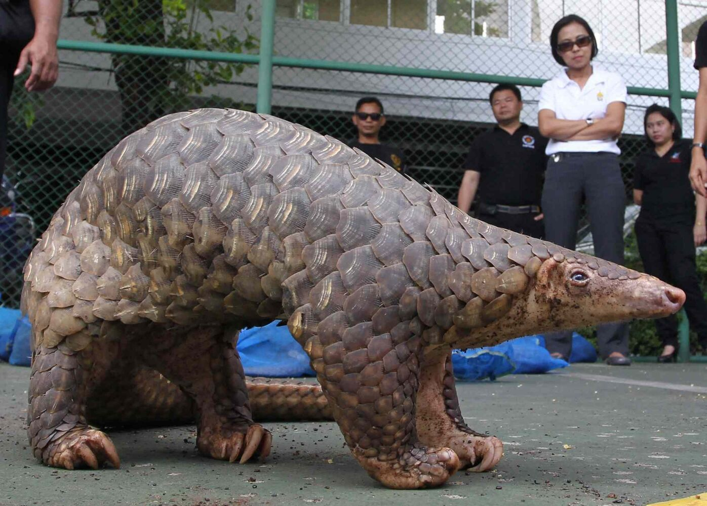 20. All pangolin (Pholidota). (Apichart Weerawong / The ASsociated Press)