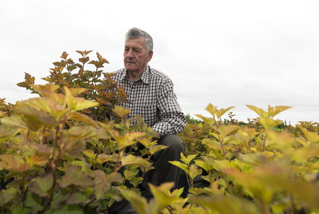 Wilbert Ronald arranges the Amber Jubilee shrubs, named in honour of Queen Elizabeth's jubilee.