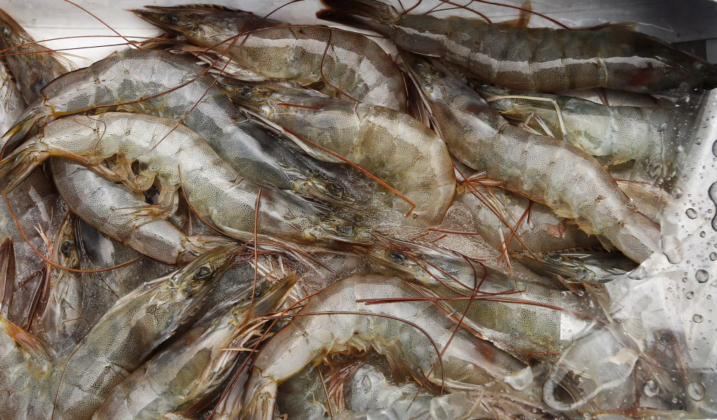 The boat is stocked with jumbo shrimp to bait the catfish.  (KEN GIGLIOTTI / WINNIPEG FREE PRESS)