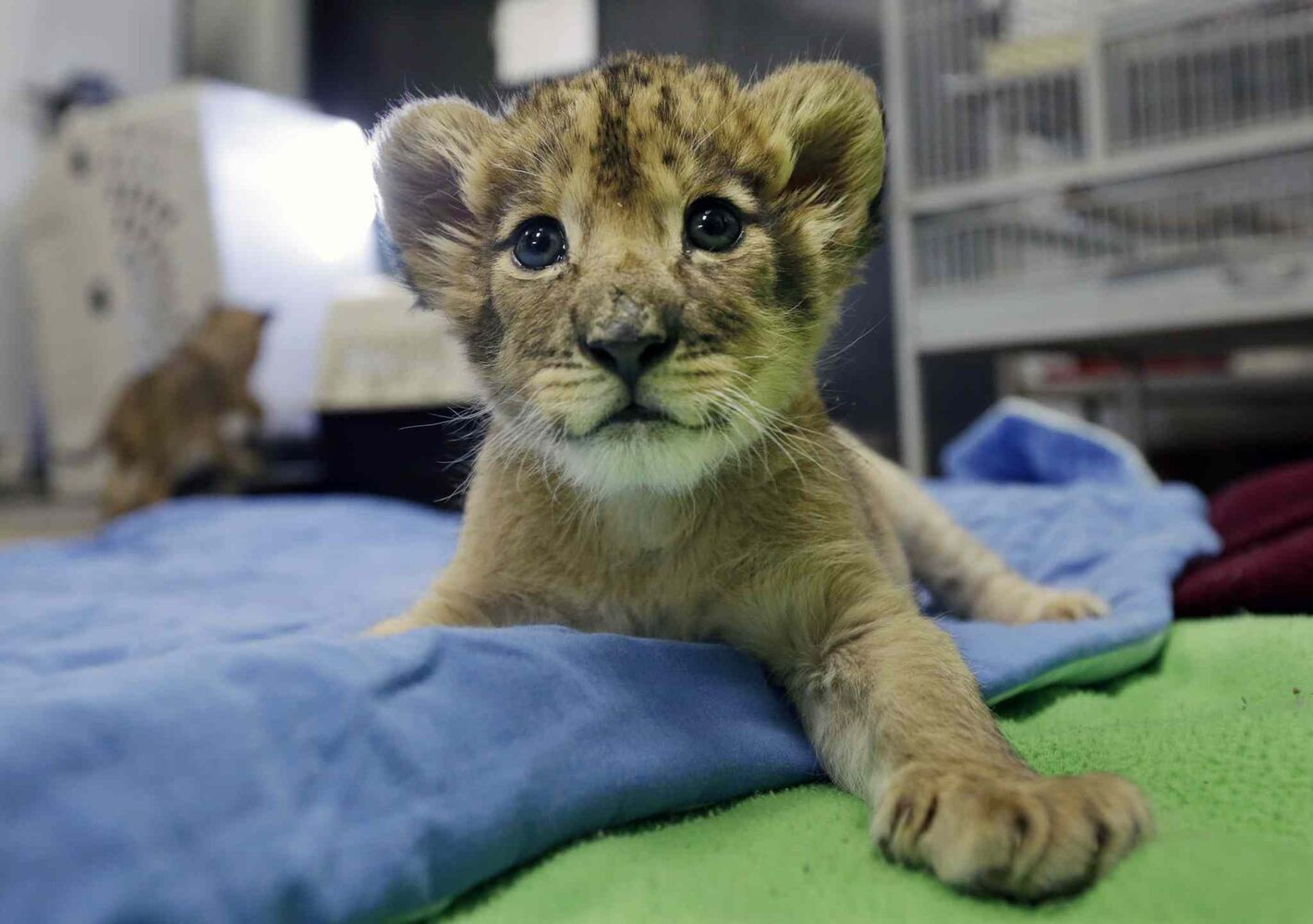 One-month old African lion cub, Kiume plays at the veterinarian office Three baby lion cubs at Six Flags Great Adventure and Safari Thursday, March 6, 2014, in Jackson, N.J. Three baby African lion cubs, Kiume, and two month old brothers, Kanu and Kondo, live at the park in central New Jersey. The park says its animal care team has become surrogate mother to the cubs due to medical distress and lack of care by their mothers. (Mel Evans / The Associated Press)