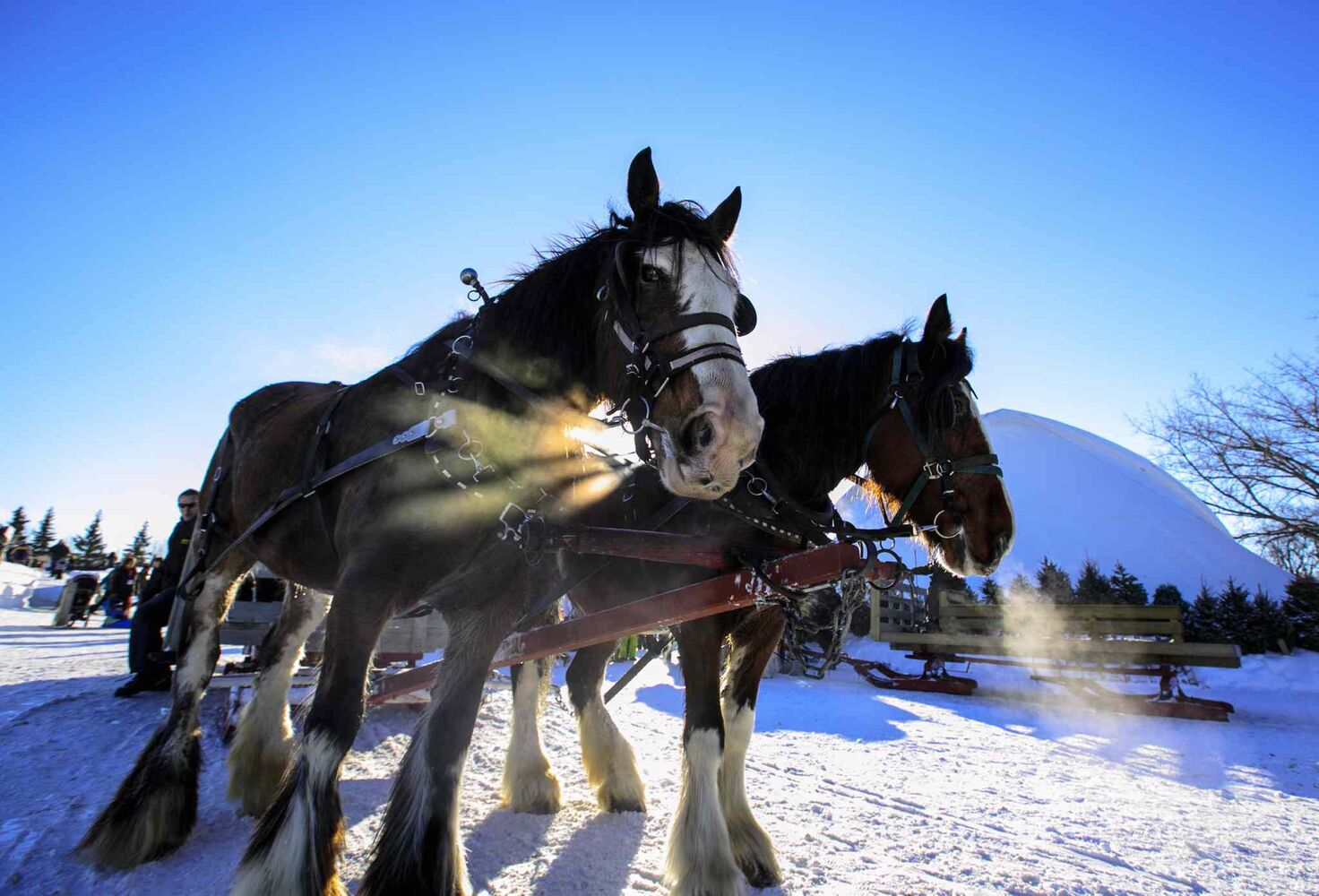 Heaving breathing horses about to pull a sleigh at Festival du Voyageur on Louis Riel Day.