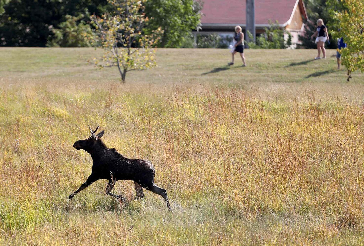 TREVOR HAGAN / WINNIPEG FREE PRESS</p><p>Winnipeg police and the department of fisheries try to contain a moose near the corner of Pembina Highway and Chancellor Matheson, Saturday.</p>