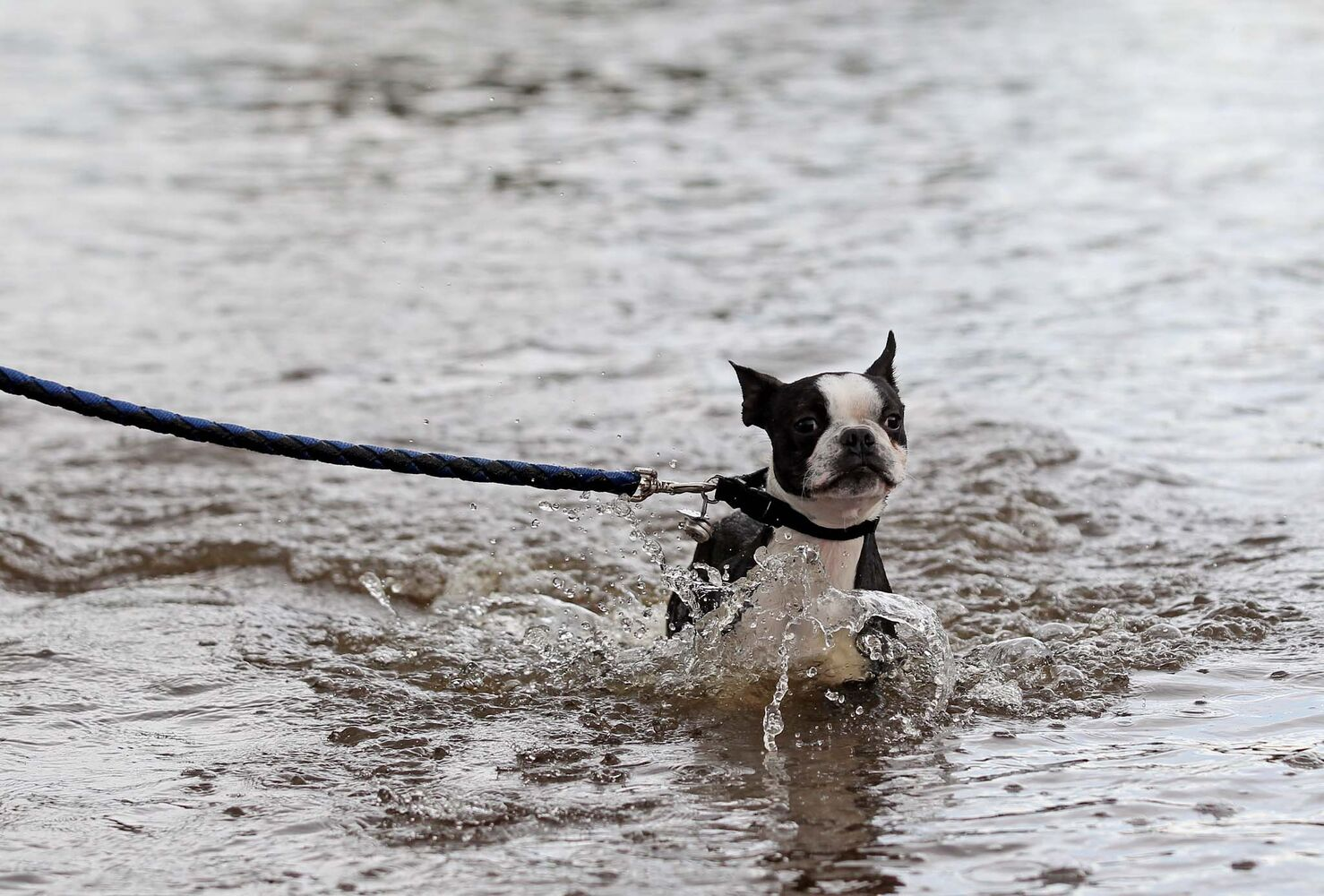 Diesel walks through flood water from the swollen Gopher Cr(Tim Smith/Brandon Sun)