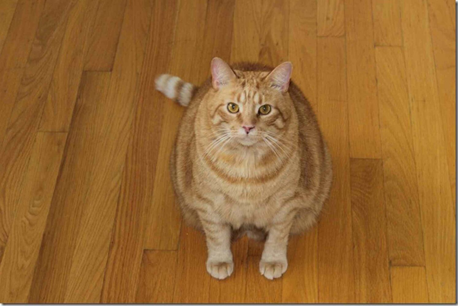 Oscar, George's brother (previous slide), struggled mightily to lose weight. He feared he was being starved to death and somehow managed to gain weight even on the special metabolic food. But eventually, owner Donald Musson got that turned around and Oscar now weighs about 18.5 lbs., about a four-pound loss. (Submitted photo)