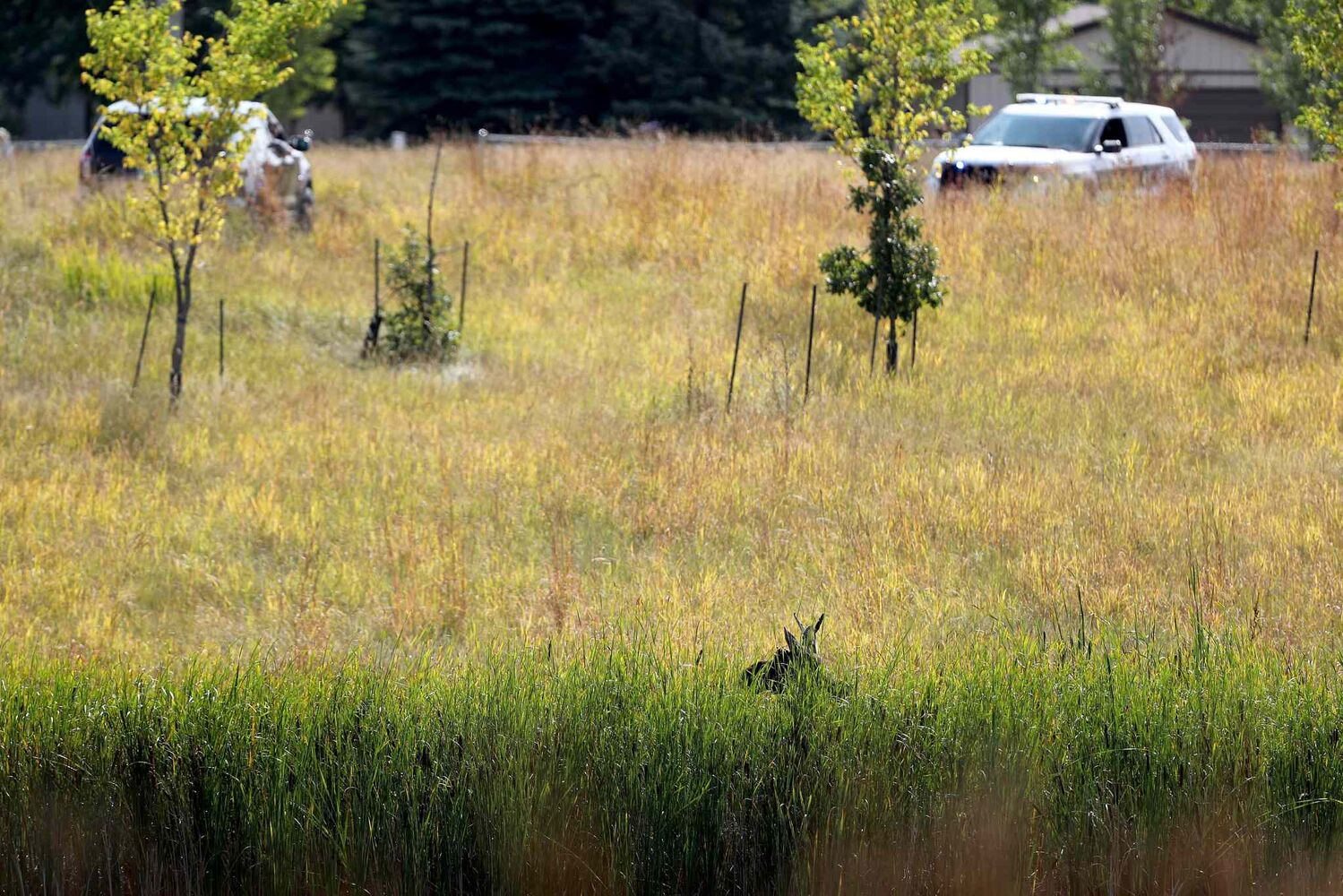 TREVOR HAGAN / WINNIPEG FREE PRESS Winnipeg police and the department of fisheries try to contain a moose near the corner of Pembina Highway and Chancellor Matheson, Saturday.