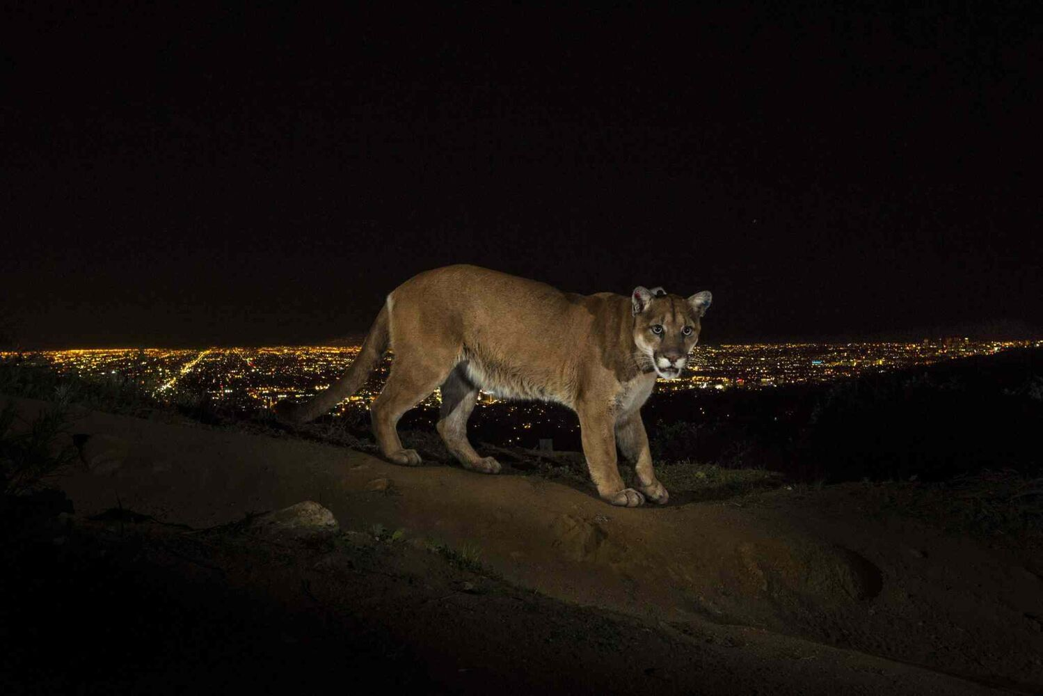 First prize in the Nature Stories category by Steve Winter of U.S.A.<p> A cougar walks a trail in Los Angeles' Griffith Park, captured by a camera trap on March 2, 2013. To reach the park, which has been the cougar's home for the last two years, it had to cross two of the busiest highways in the U.S.  (Steve Winter, for National Geographic)