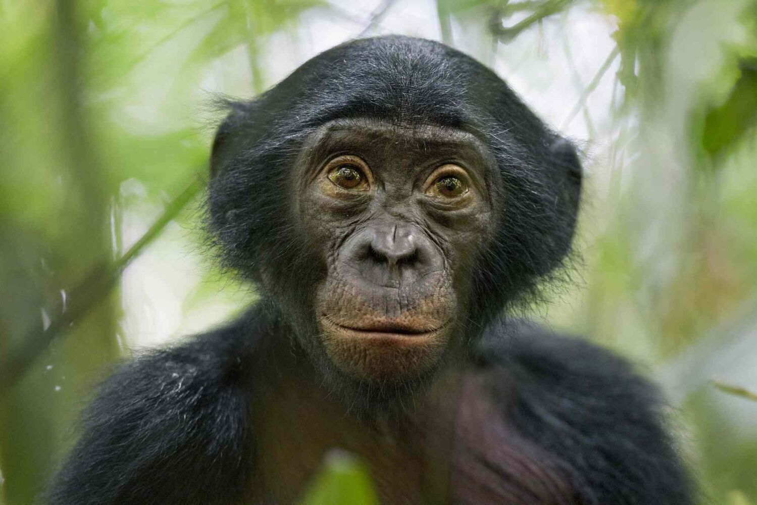 Third prize in the Nature Stories category by Christian Ziegler of Germany<p> A five-year-old bonobo of a wild group of bonobos near the Kokolopori Bonobo Reserve in the Democratic Republic of Congo on Jan. 25, 2011.  (Christian Ziegler, National Geographic Magazine)