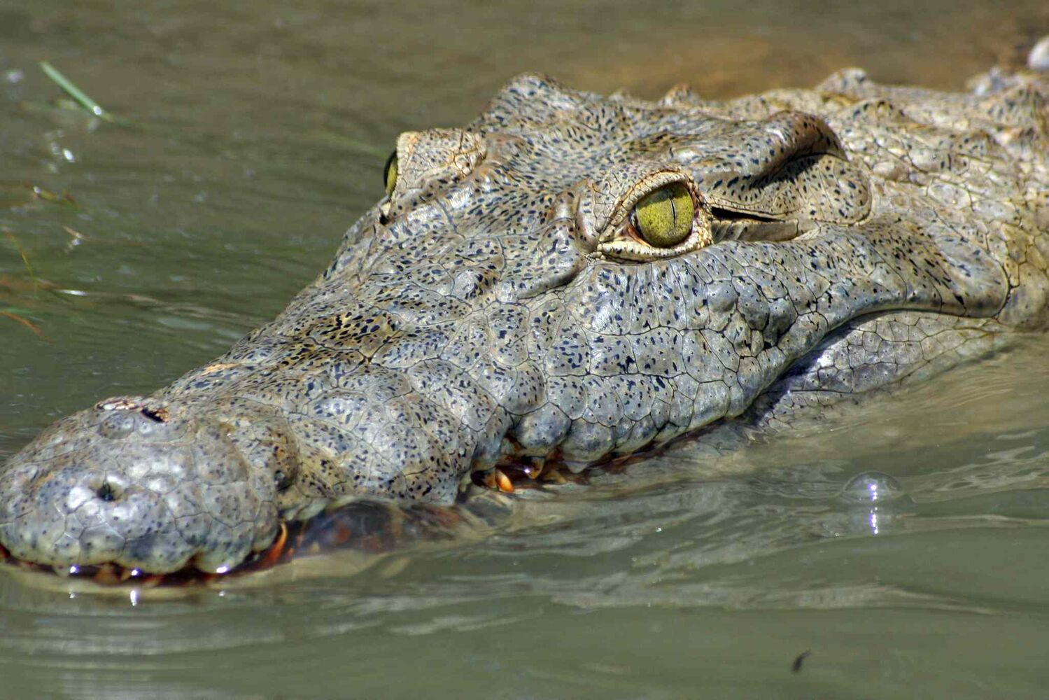 10. (j) all members of the order Crocodylia, including, but not limited to, alligator, caiman and crocodile.
