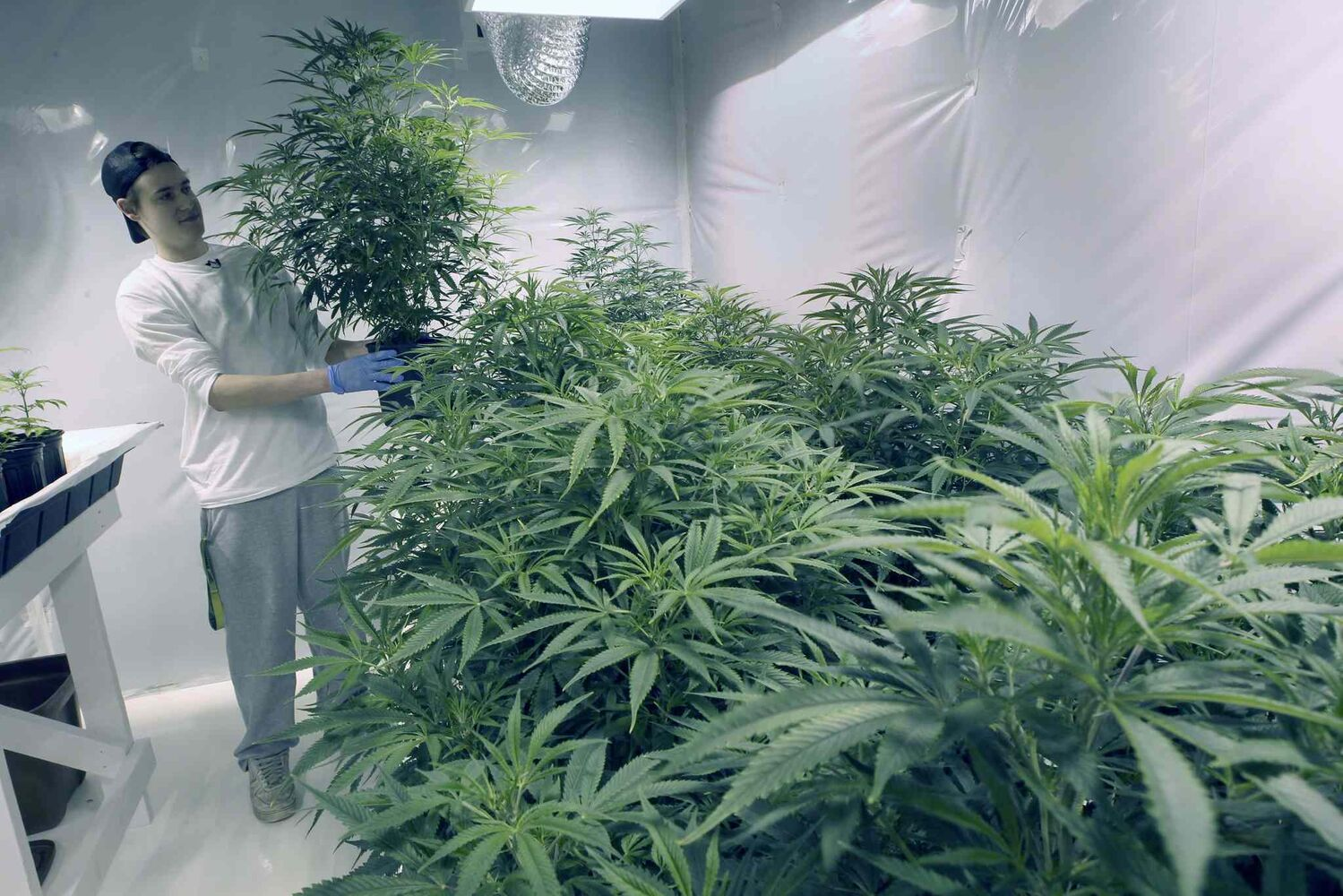 John Arbuthnot, VP of Delta 9 Bio-tech, tends to medical marijuana being produced in Winnipeg. The company currently has 1000 plants producing $3-million worth product. (JOE BRYKSA / WINNIPEG FREE PRESS)