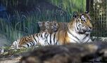 Names chosen for zoo's Amur tiger cubs