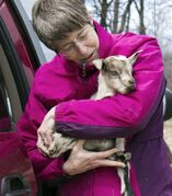In this photo taken Thursday April 10, 2014, Karen Freudenberger takes a goat to the barn at the Vermont Goat Collaborative in Colchester, Vt. Freudenberger is helping refugees and immigrants raise goats. (AP Photo/Holly Ramer)