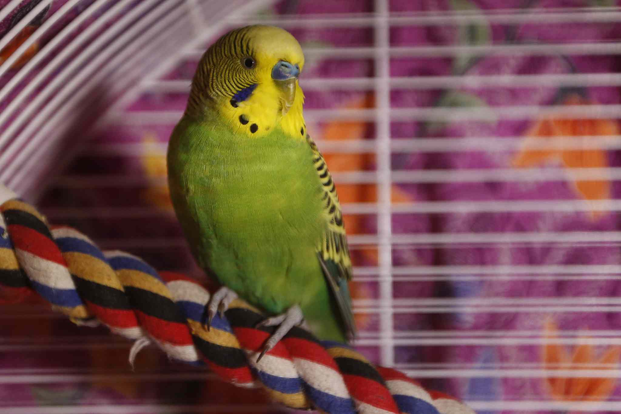 Budgie rescued after flying free with a flock of sparrows - Winnipeg