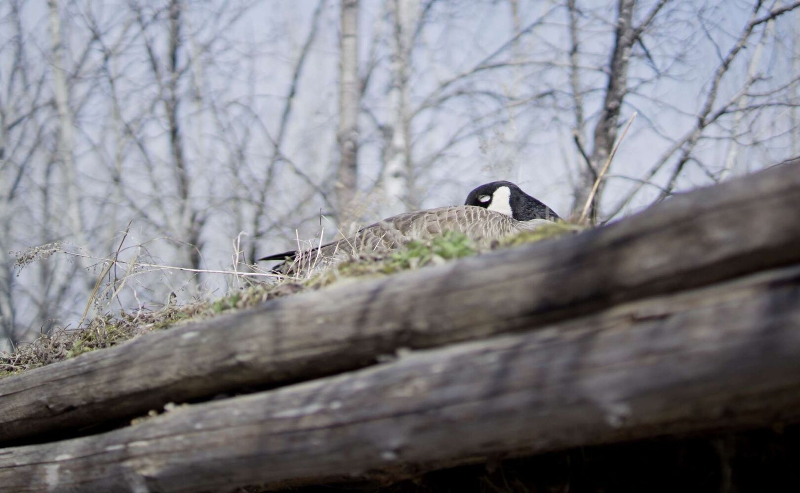 A Canada goose nests on the roof of a sod house at FortWhyte Alive.  (Danielle Da Silva - Sou'wester)