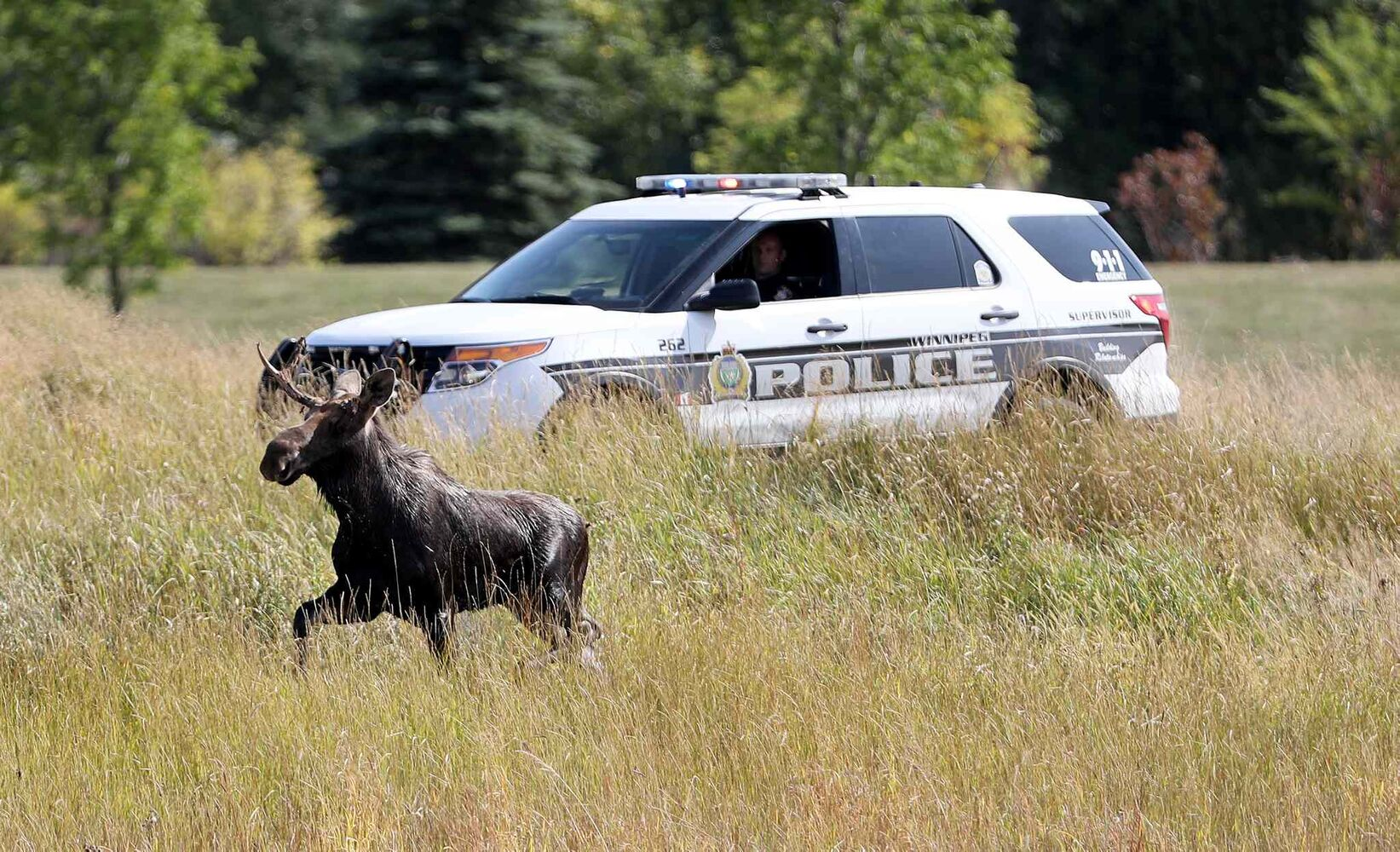Cops defend traffic decision for loose moose