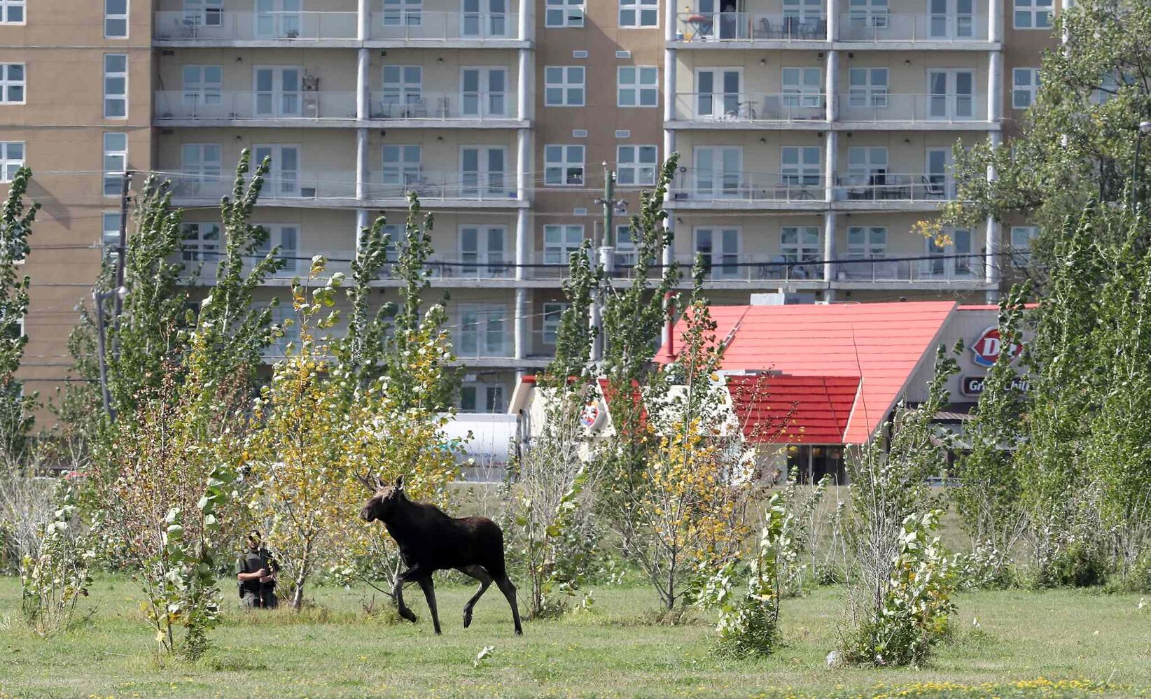 TREVOR HAGAN / WINNIPEG FREE PRESS</p><p>A moose was loose near the corner of Pembina Highway and Chancellor Matheson, Saturday. The moose caused many Winnipeg Blue Bombers fans to be delayed on their way to Investors Group Field for the Banjo Bowl game against the Saskatchewan Roughriders.</p>