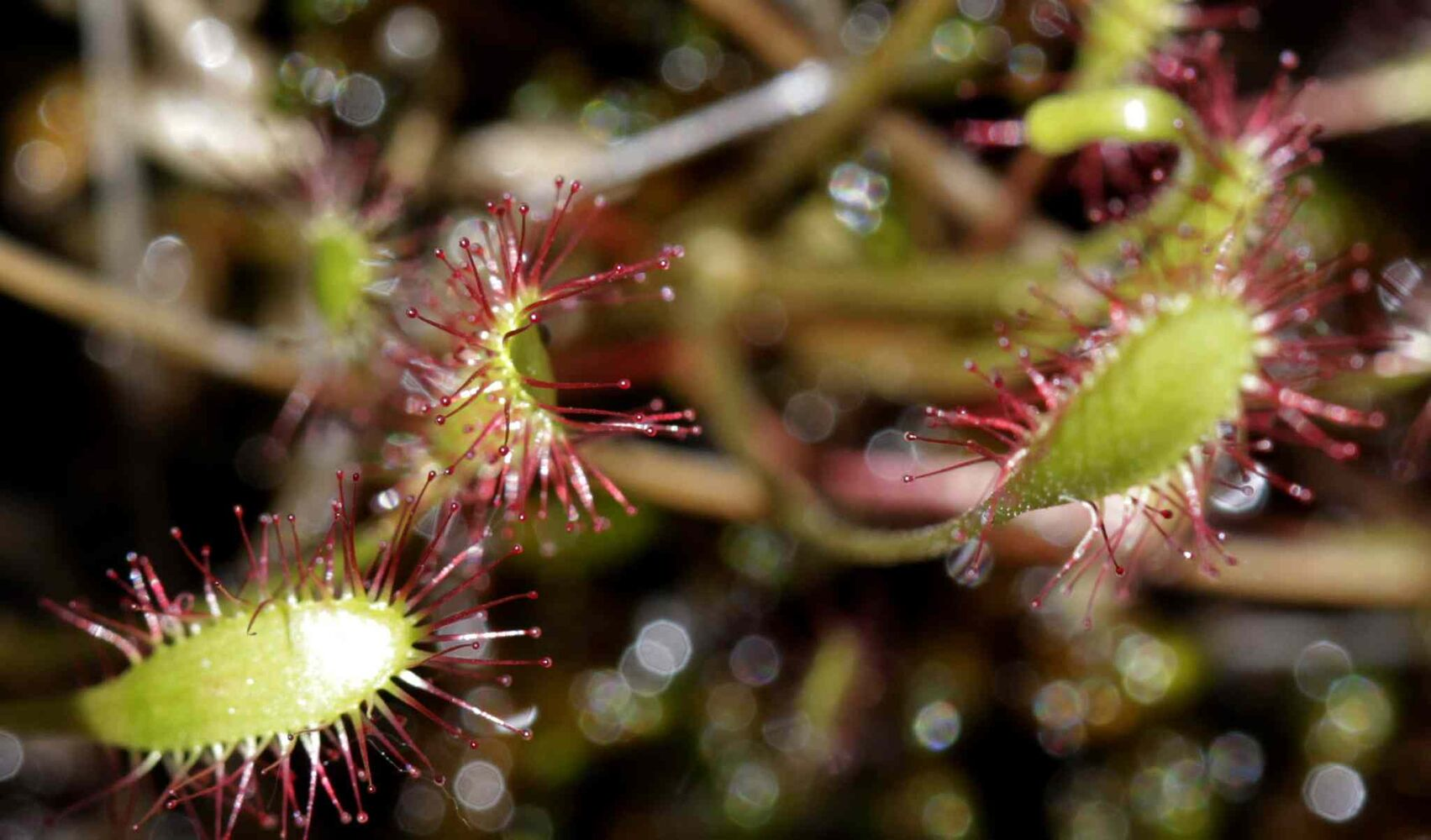 A closeup view of the Sundews plant as seen on the tour of the Brokenhead Wetland. (Wayne Glowacki / Winnipeg Free Press)