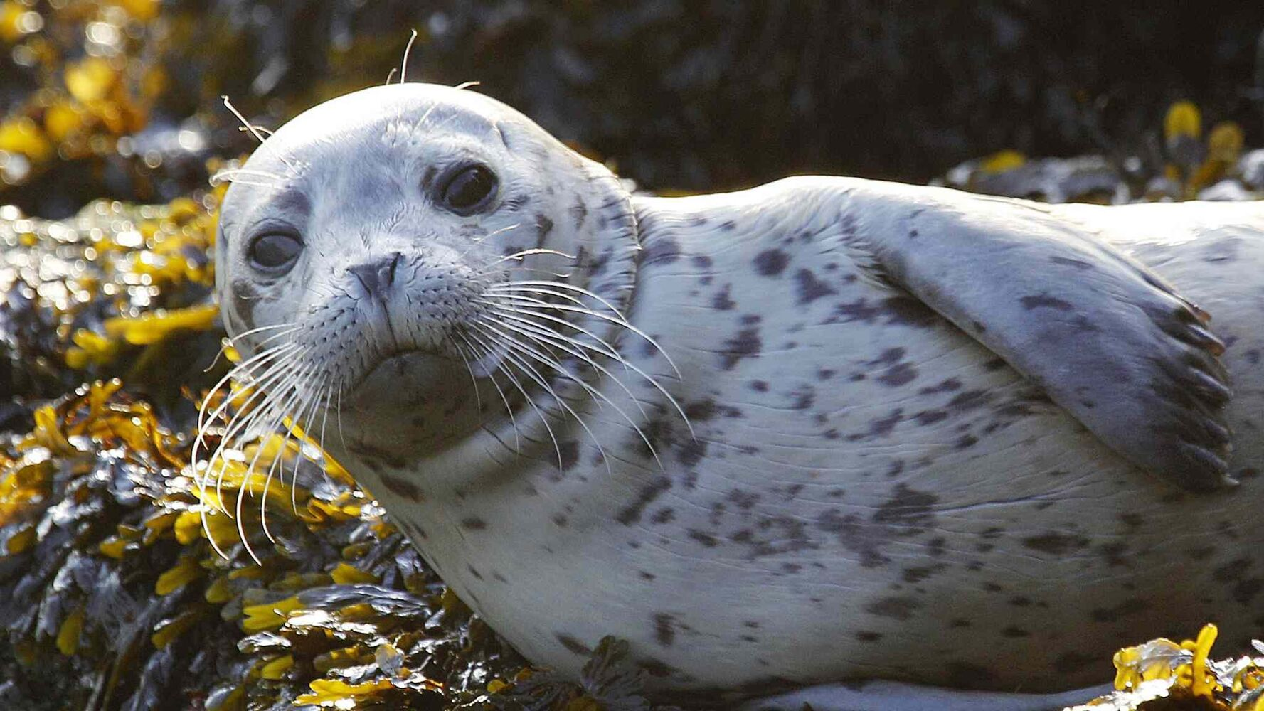 A harbor seal pup looks up at a visitor as he rests on seaweed-covered rocks after coming in on the high tide Wednesday morning, Oct. 12, 2011, in the West Seattle neighborhood of Seattle. (Elaine Thompson / The Associated Press)