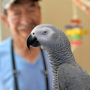 In this Oct. 15, 2014 photo, Nigel, the parrot, is photographed after being reunited with his second family this week after original owner Darren Chick decided to give him back to the family that had bonded with him the last four years in Torrance, Calif. The reunion was brought about by a Southern California veterinarian who mistook Nigel, an African gray parrot, for her own missing bird, the Daily Breeze reported Sunday. (AP Photo/The Daily Breeze, Robert Casillas)