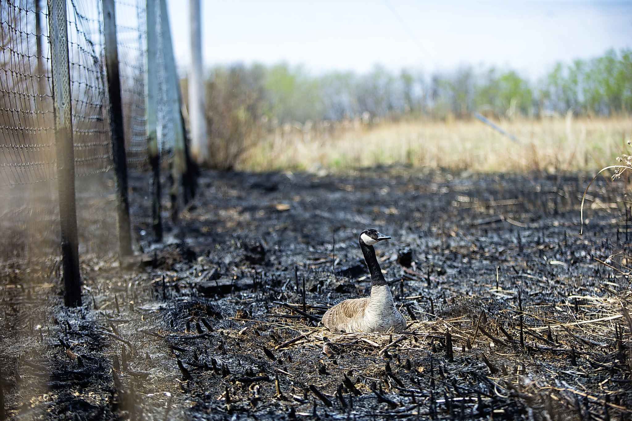 A Canadian goose sits on its nest, which is right in the middle of a burned area by the CN tracks along Wilkes Avenue in Winnipeg on Tuesday, May 8, 2018.