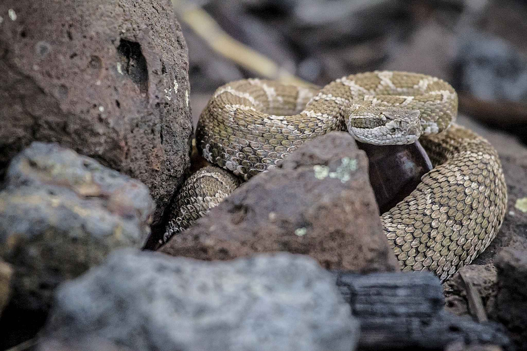 A rattlesnake on the shore of the Columbia River.