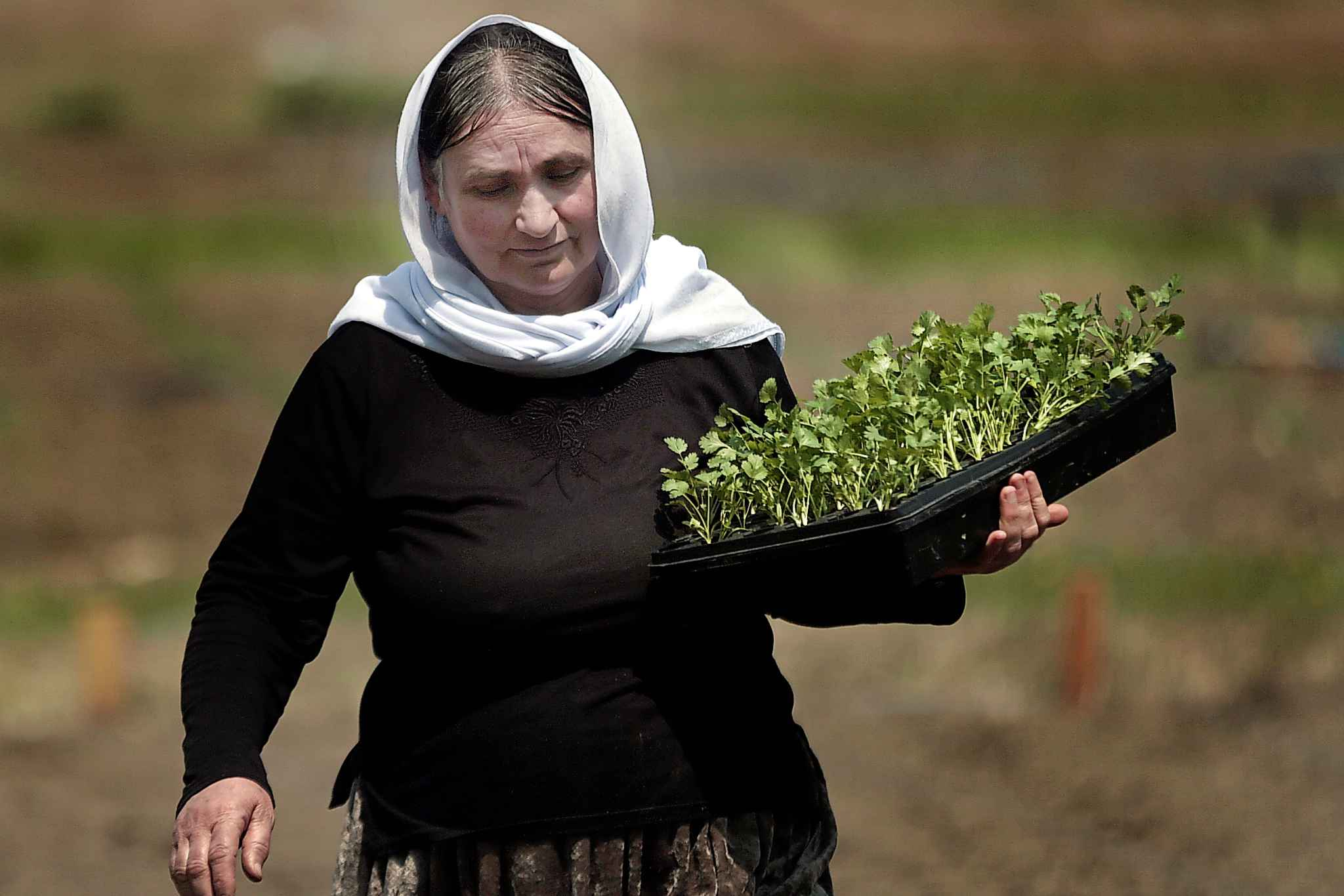 Adol Alyas carries seedlings to be planted at a Yazidi Community Garden near St. François Xavier.