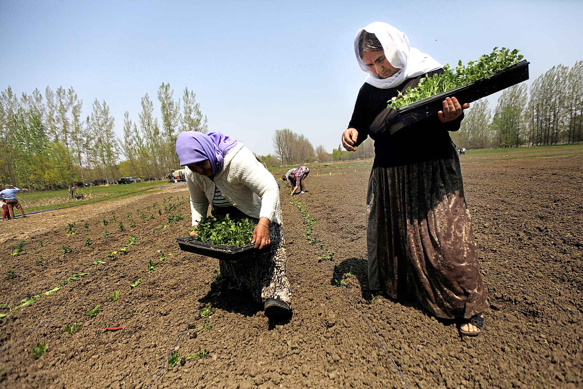 Rahlim Rafo (left) and Adol Alyas drop seedlings into rows.